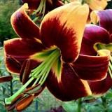 Лилия О.Т. гибрид Red Morning (1 луков.) описание, отзывы, характеристики