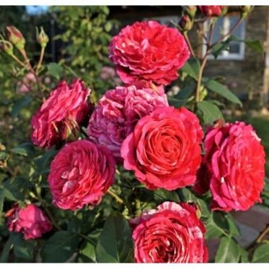 Троянда чайно-гібридна Best Impression (1 саджанець) опис, характеристики, відгуки
