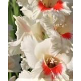Гладиолус крупноцветковый Candy Bar (5 луковиц) описание, отзывы, характеристики
