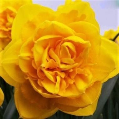 Нарцисс махровый Heamoor (1 луковица) описание, отзывы, характеристики