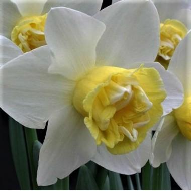 Нарцисс махровый Popeye (1 луковица) описание, отзывы, характеристики