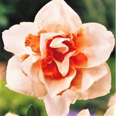 Нарцисс махровый  Replete (1 луковица) описание, отзывы, характеристики
