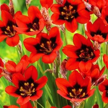 Спараксис Red Reflex® (5 луковиц) описание, отзывы, характеристики