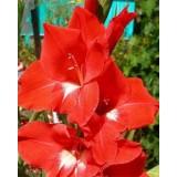 Гладиолус крупноцветковый Traderhorn (5 луковиц) описание, отзывы, характеристики