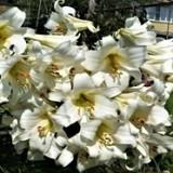Лилия трубчатая White Planet (1 луков.) описание, отзывы, характеристики