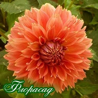 Георгина бахромчатая Оранж Фубуки Dahlia Fimbriata Orange Fubuki (1 клубень) описание, отзывы, характеристики