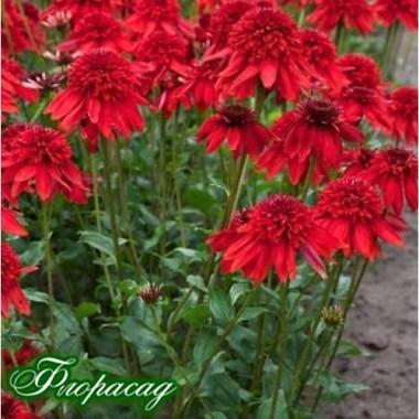 Эхинацея Хот Папайя (1 растение) описание, отзывы, характеристики
