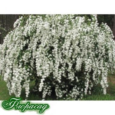 Форзиция белая(1 растение) описание, отзывы, характеристики