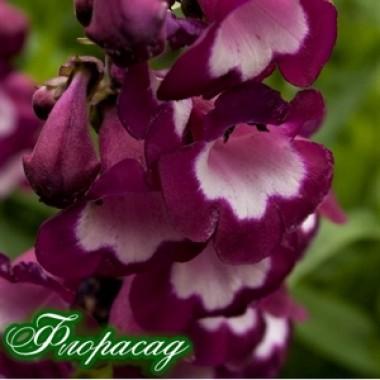 Пенстемон Purple Passion (1 саджанець) опис, характеристики, відгуки