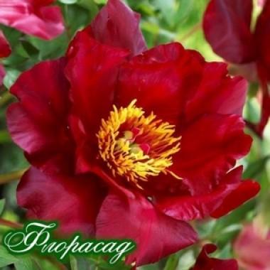 Півонія ІТО-гібрид Scarlet Heaven опис, характеристики, відгуки