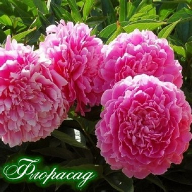 Півонія Princess Margaret опис, характеристики, відгуки