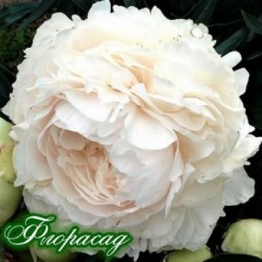 Пион Solange описание, отзывы, характеристики