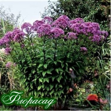 Посконник maculatum 'Atropurpureum' (1 растение) описание, отзывы, характеристики
