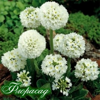 Примула denticulata Alba  (1 рослина) опис, характеристики, відгуки