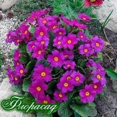 Примула ранневесенняя Церулеа (1 растение) описание, отзывы, характеристики