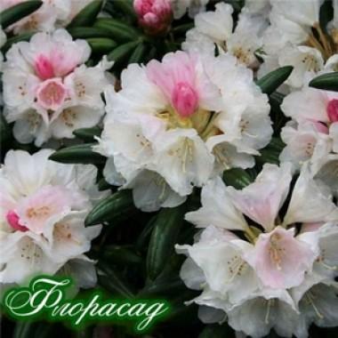 Рододендрон (азалія японська) White Surprise опис, характеристики, відгуки