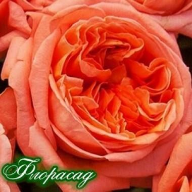 Троянда англійська Rene Goscinny опис, характеристики, відгуки