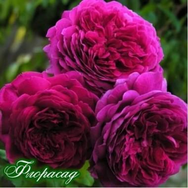Троянда англійська Young Lycidas опис, характеристики, відгуки