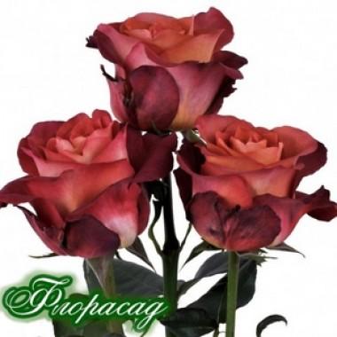 Троянда чайно-гібридна Coffe Break (1 саджанець) опис, характеристики, відгуки
