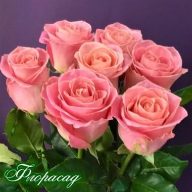Троянда чайно-гібридна Hermosa (1 саджанець) опис, характеристики, відгуки