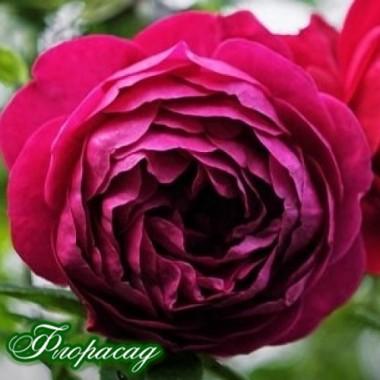 Роза флорибунда Ascot (1 саженец) описание, отзывы, характеристики