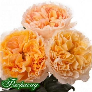 Троянда півонієвидна Д. Остіна Beatrice (1 саджанець) опис, характеристики, відгуки