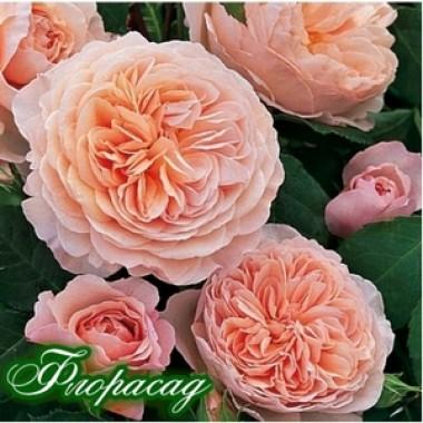 Троянда півонієвидна Д. Остіна Constance (1 саджанець) опис, характеристики, відгуки