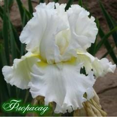 Ірис германіка Devonshire Cream (1 цибулина)
