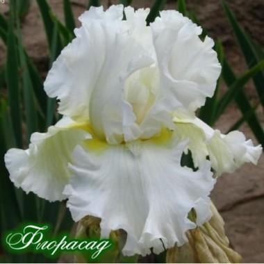 Ірис германіка Devonshire Cream (1 цибулина) опис, характеристики, відгуки