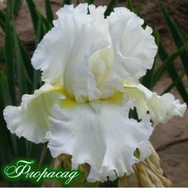 Ирис германика Devonshire Cream ( луковица) описание, отзывы, характеристики