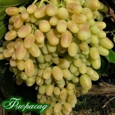 Виноград кишмиш Геліодор (1 саджанець) опис, характеристики, відгуки