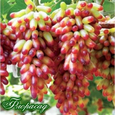 Виноград Манікюр Фінгер (1 саджанець) опис, характеристики, відгуки