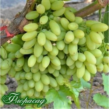 Виноград кишмиш Столетие (1 саженец) описание, отзывы, характеристики