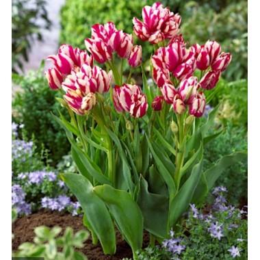 Тюльпан многоцветковый Flaming Club (1 луковица) описание, отзывы, характеристики