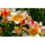 Тюльпан ранній Floresta (10 цибулин) опис, характеристики, відгуки