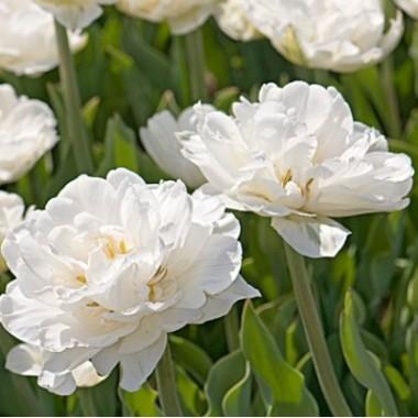 Тюльпан махровый Mount Tacoma (детка 30 луков.) описание, отзывы, характеристики
