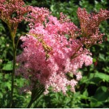 Філіпендула rubra Venusta (1 рослина) опис, характеристики, відгуки