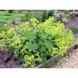 Алхемилла мягкая Робустика (Alchemilla mollis Robustica (1 растение) описание, отзывы, характеристики
