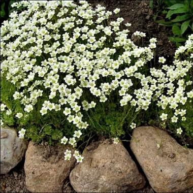 Камнеломка Арендса белая Saxifraga arendsii описание, отзывы, характеристики