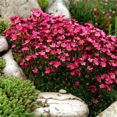 Камнеломка Арендса красная Saxifraga arendsii описание, отзывы, характеристики