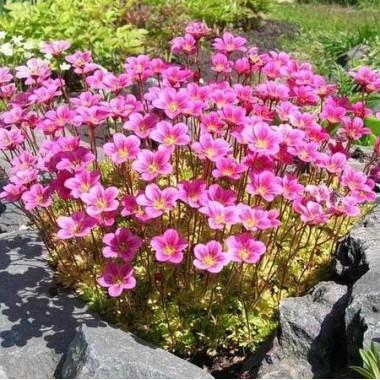 Камнеломка Арендса розовая Saxifraga arendsii описание, отзывы, характеристики