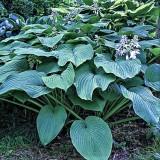 Хоста Королевский размер (Кинг Сайз) Hosta Kingsize (1 растение) описание, отзывы, характеристики