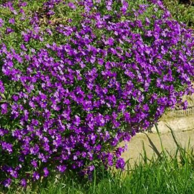Обрієта садова Пурпурова  (1 саджанець) опис, характеристики, відгуки