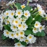 Примула ранневесенняя Вирджиния (1 растение) описание, отзывы, характеристики