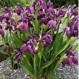 Роскоя Auriculata (1 клубнелуковица)  описание, отзывы, характеристики