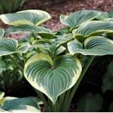 Хоста Victory (1 рослина) опис, характеристики, відгуки