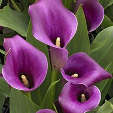 Калла Lavender Gem (1 бульба) опис, характеристики, відгуки