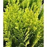 Туя східна Морган (1 рослина) опис, характеристики, відгуки