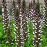 Акант White Lips (1 растение)  описание, отзывы, характеристики