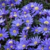 Анемона Blanda Blue Shades (5 луковиц) описание, отзывы, характеристики